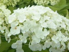 category-deciduous-shrubs