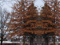 category-deciduous-trees