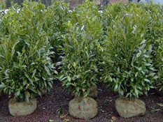category-evergreen-shrubs