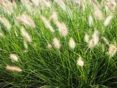 category-ornamental-grasses