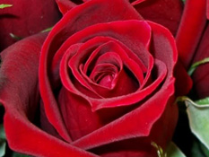 category-roses