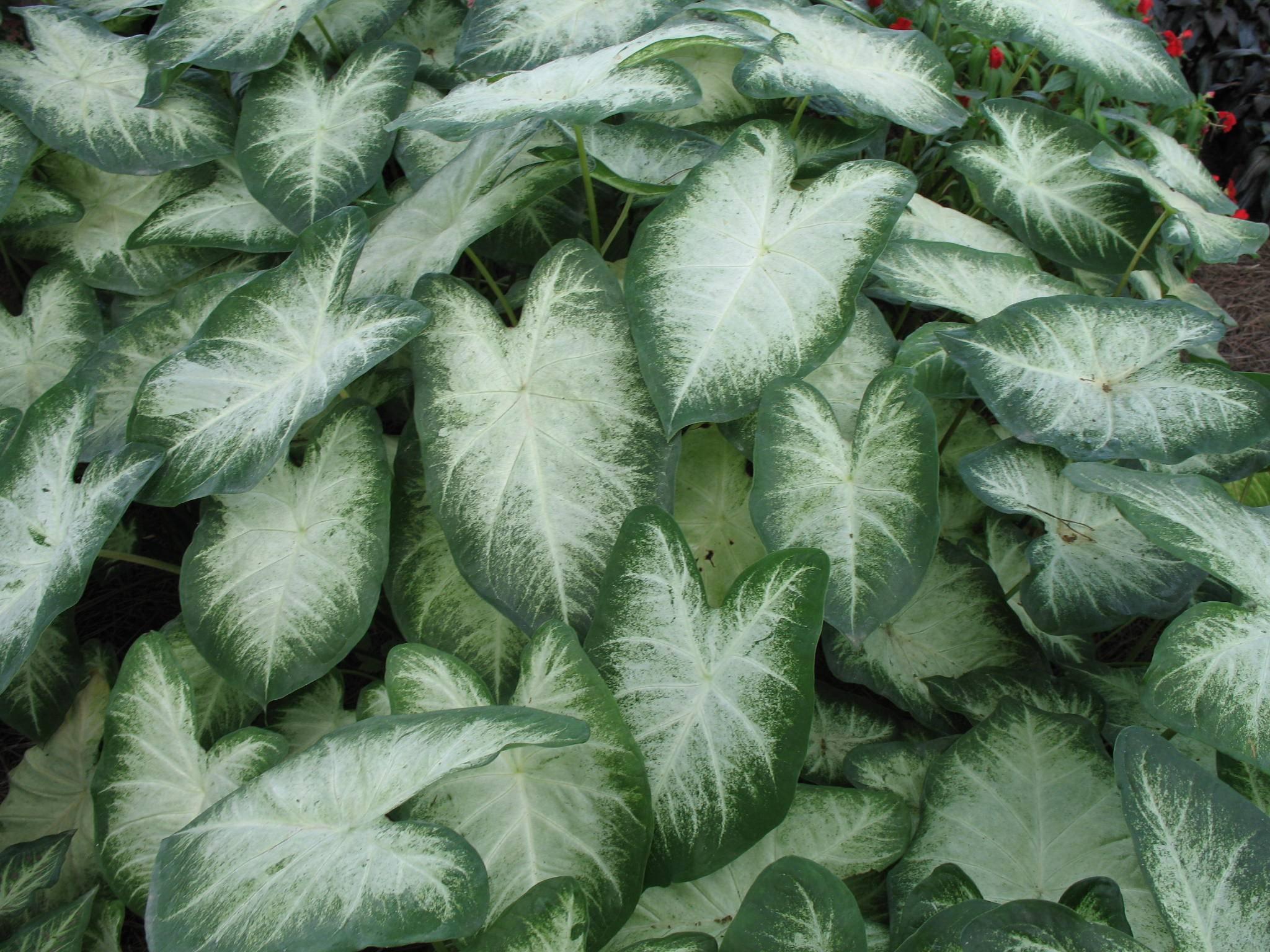 Fancy Leaf Caladium