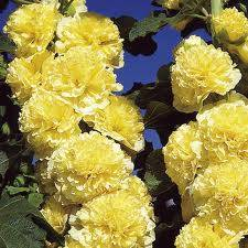 ALCEA CHATERS YELLOW