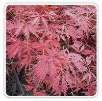 Acer Palmatum Dissectum Tamukeyama