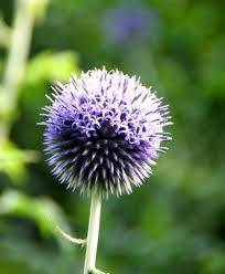 ECHINOPS STAR FROST
