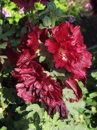 alcea spring celebrities crimson