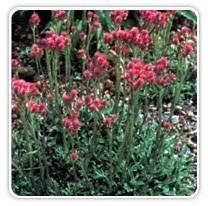 antennaria-dioica-rubra