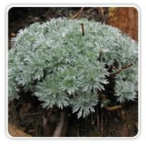 artemisia-schmidtiana-silvermound