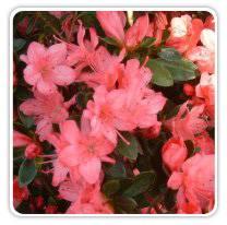 azalea-blaauws-pink