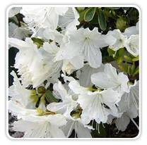azalea-delaware-valley-white