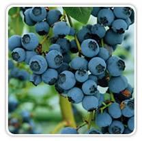 blueberries-bluecrop