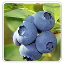 blueberry-jersey