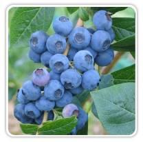 blueberry-northsky