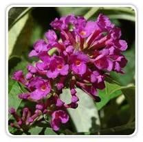 buddleia-tutti-fruitti-pink
