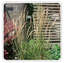 calamagrostis-a-karl-foerster