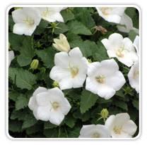 campanula-white-clips