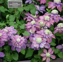 clematis-diamantina