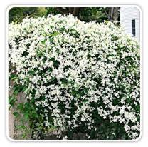 clematis-paniculata-white