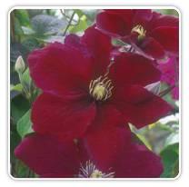 clematis-rosemoor