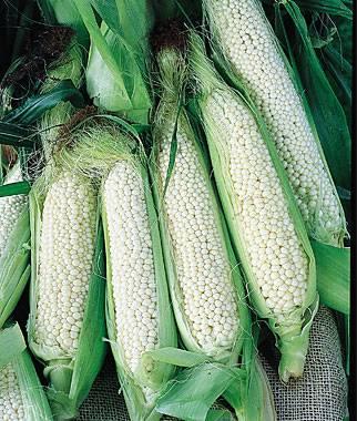 corn_pl