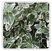 euonymus-emerald-gaiety