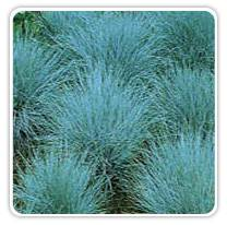 festuca-cinerca-elijahblue