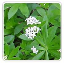 galium-odoratum-sweetwoodruff