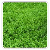 herniaria-glabra-greencarpet