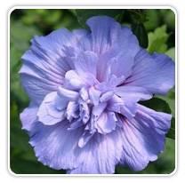 hibiscus-blue-chiffon