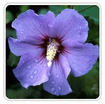 hibiscus-blue-satin