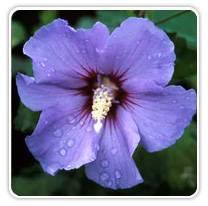 hibiscus-blue-satin