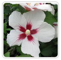 hibiscus-lil-kim