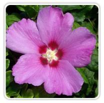 hibiscus-violet-satin