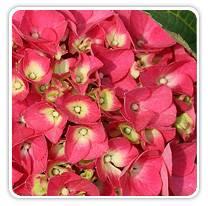 hydrangea-mac-citylineparis