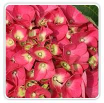 hydrangea-macrophylla-cityline-paris