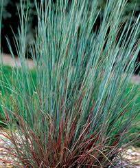 Fountain Grass piglet