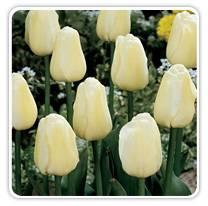 ivory-floradale