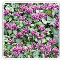lamium-maculata-red-nancy