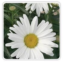 leucanthemum-daisy-may