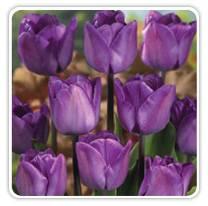 magic-lavender