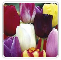 may-flowering-tulip