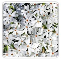 phlox-subulata-snowflakes