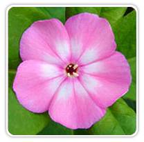 phlox-volcano-pink