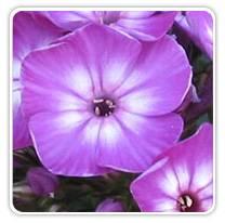phlox-volcano-purple