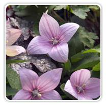 platycodon-aster-pink