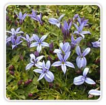 pratia-pedunculata-countypark