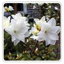rhododendron-april-snow
