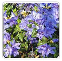 rhododendron-blue-baron