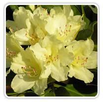rhododendron-capistrano