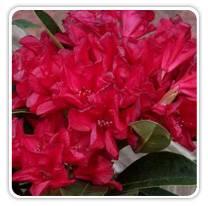 rhododendron-rangoon
